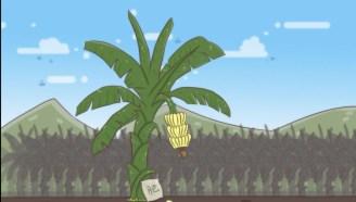 为什么香蕉没有种子?