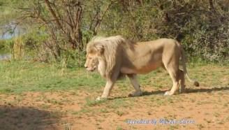狮语者给雄狮挠痒痒