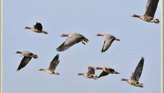 益智早教--为什么大雁飞行要保持队形?