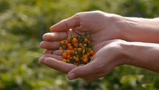最贵辣椒每斤12万,一小袋就能买辆奔驰,土豪也不敢随便吃