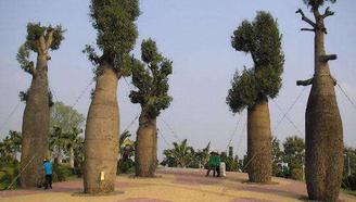 世界上储水量最大的树,一棵能储存2吨水,在沙漠中能救活一群人