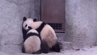 熊猫麻麻母爱瞬间,画面温馨超有爱,萌哭!