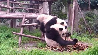 熊猫麻麻:一边玩去,别吵老娘吃饭!