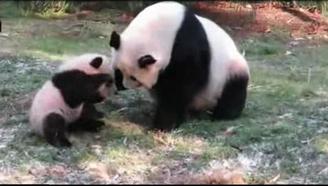 熊貓美香對貝貝愛不釋手:來,讓我們一起做快樂的滾滾