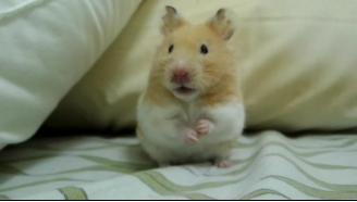 呆萌的黃金鼠,萌化了(?? . ??)