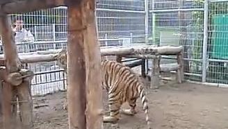 猫科最强的直立能力!老虎打拳击!!