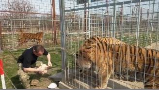终极猫科西伯利亚虎,拥有远远凌驾于狮子的体型!