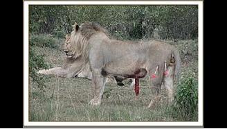 丢脸的群居之王狮子!