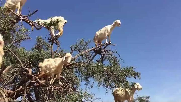 山羊輕松爬上非洲的矮斜分叉樹!!!